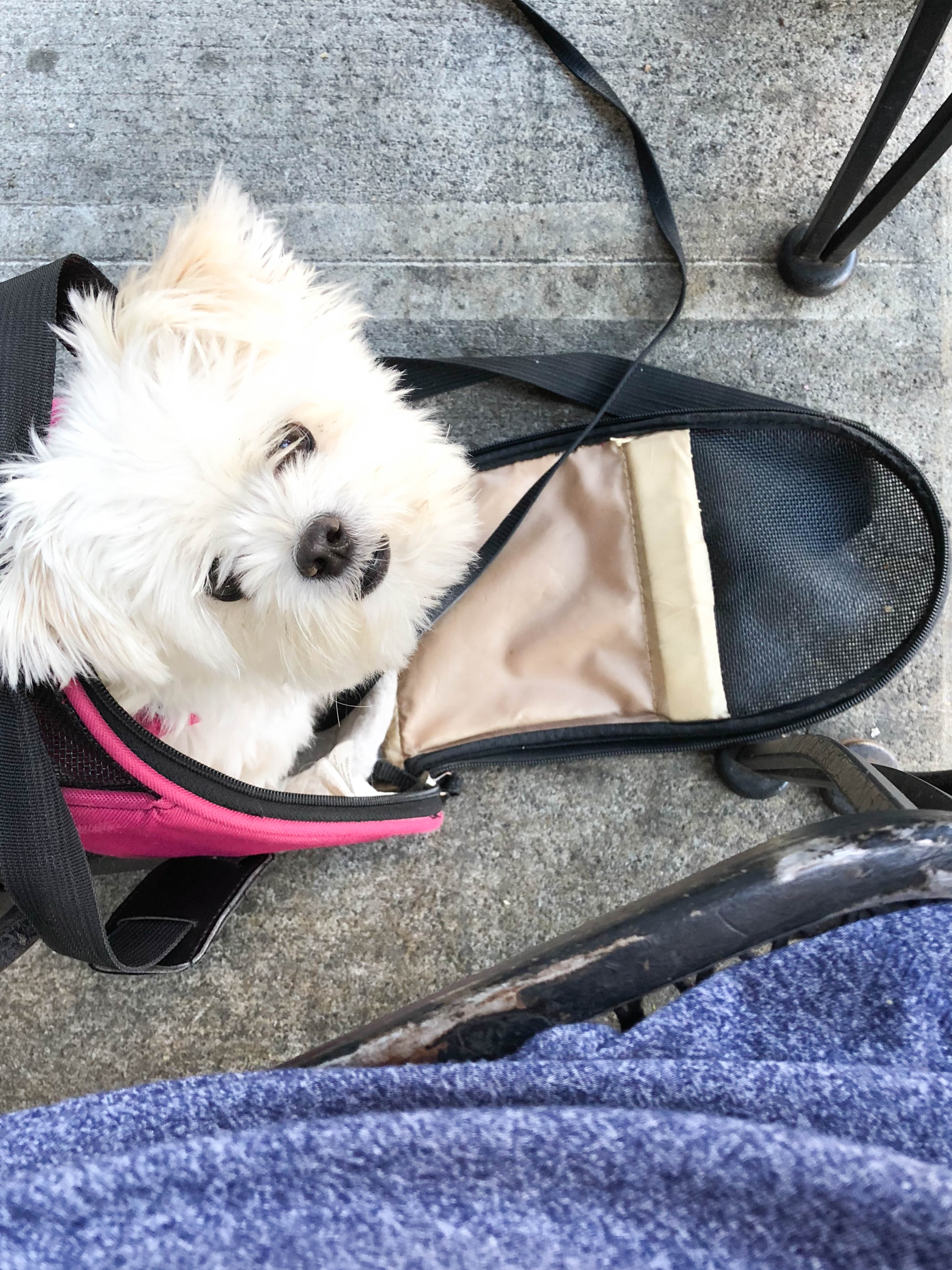tips for traveling and taking vacations with small dogs on livingforaged.com