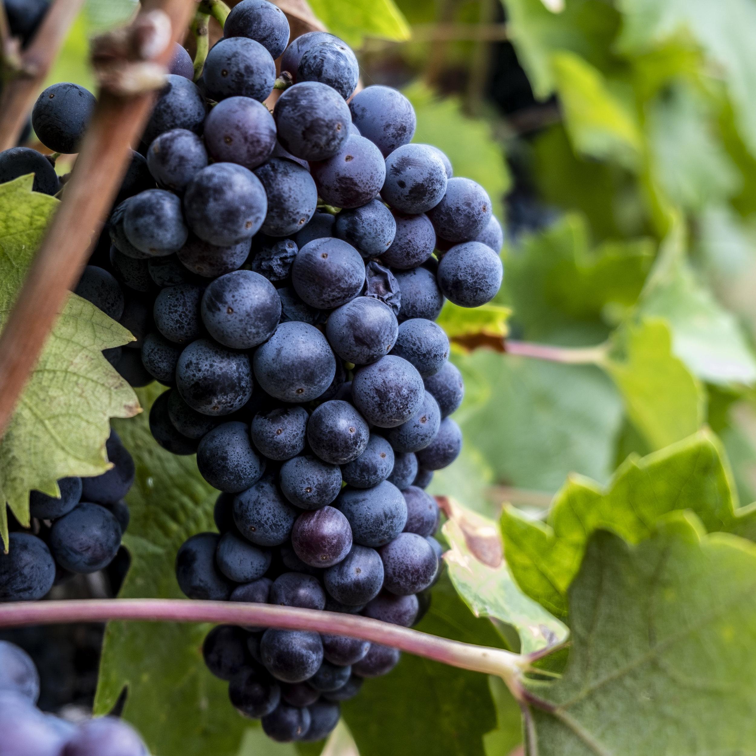 Spencer Zin Grapes.jpg