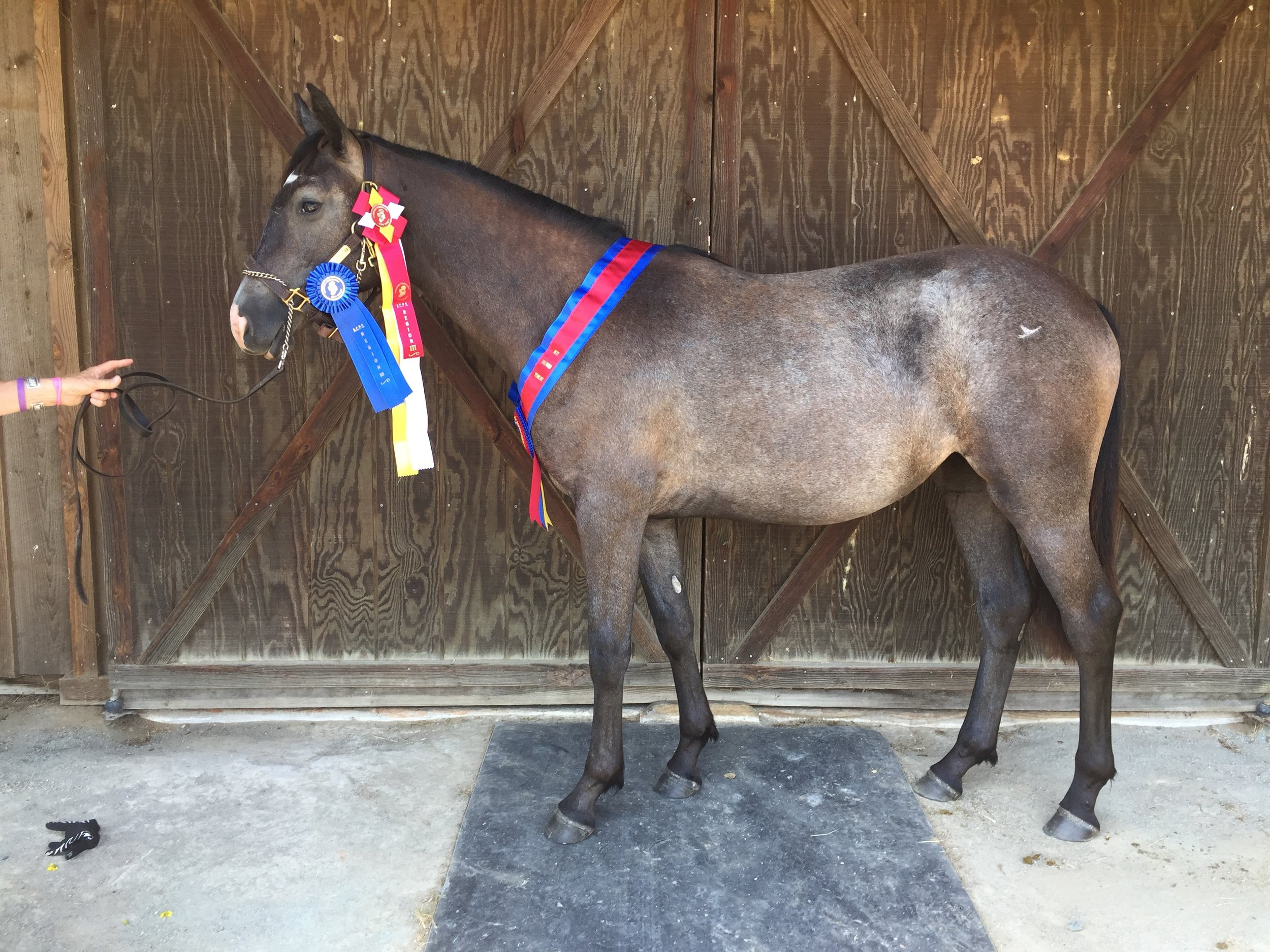 """Icy"" Reserve Champion Half-bred Connemara as a yearling"