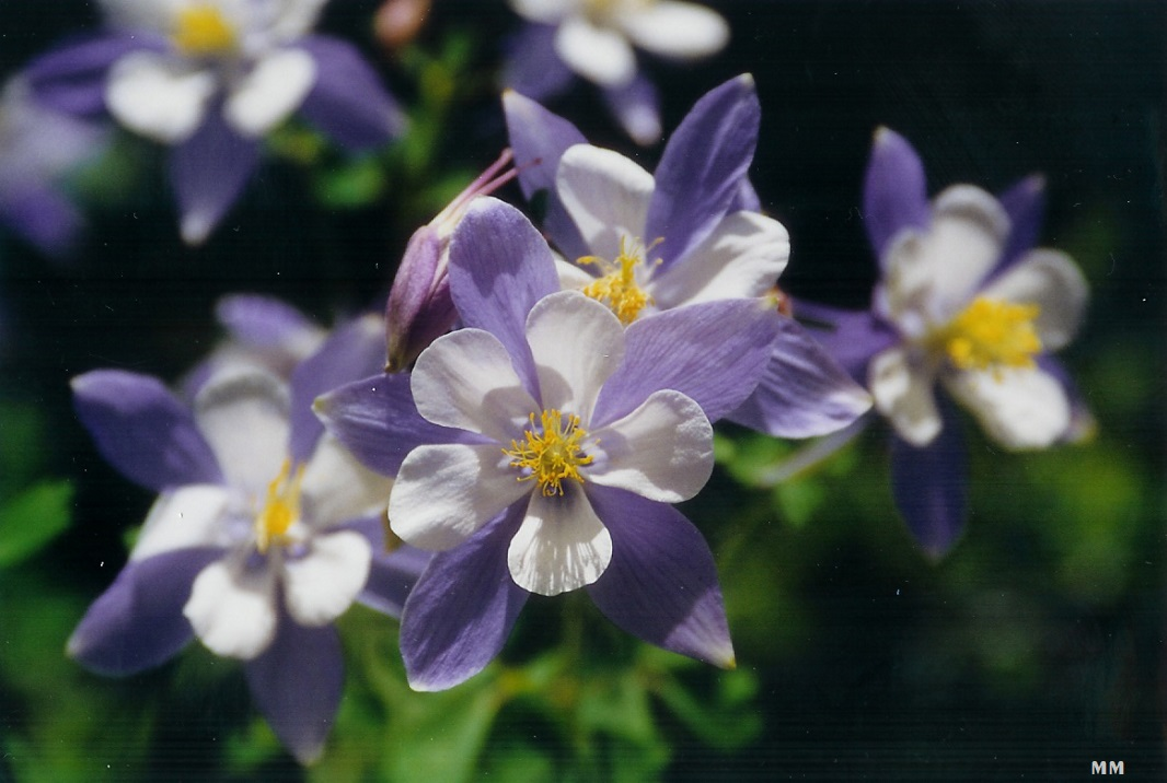 Columbine on the Pass 93+.jpg