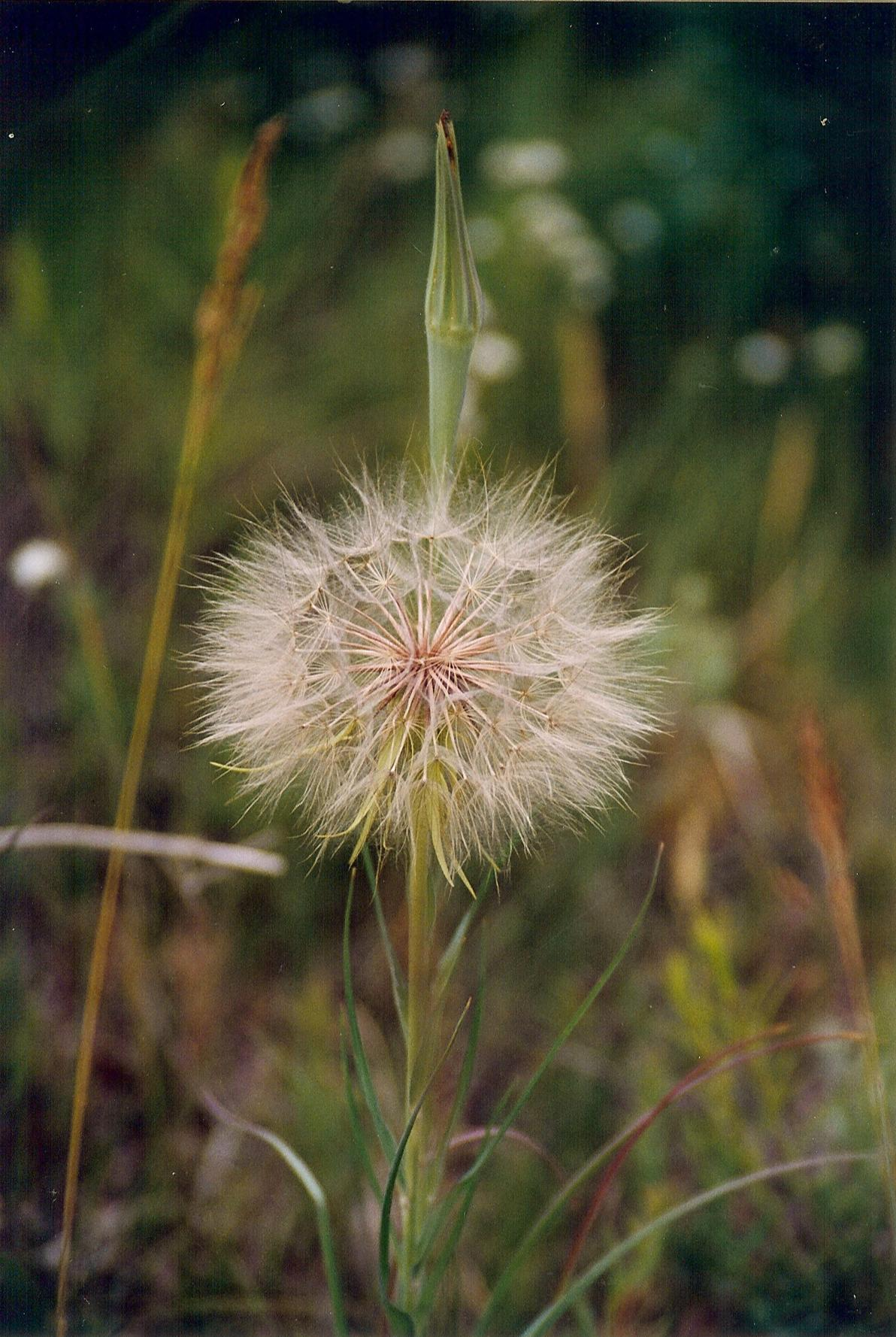 Dandelion Daydreams.jpg