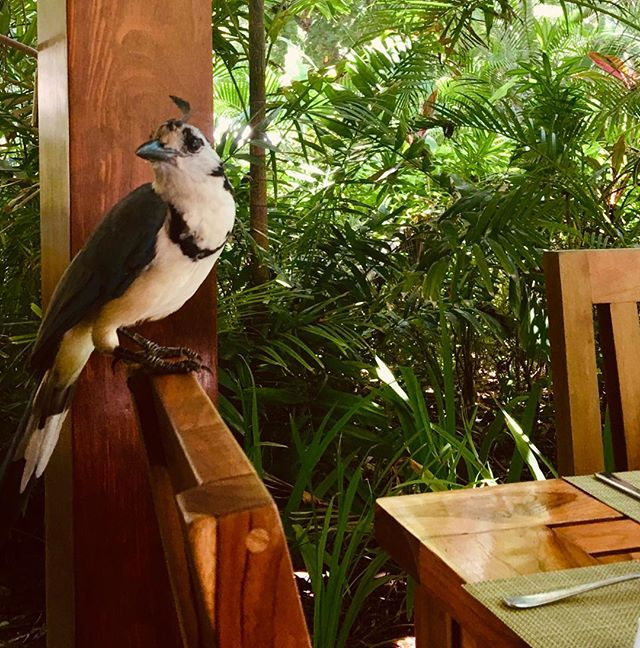 Beautiful & well behaved @ our neighbor, @hotelflorblanca #birdsofcostarica #nature #beauty #maisonmarazul #santateresa #costarica
