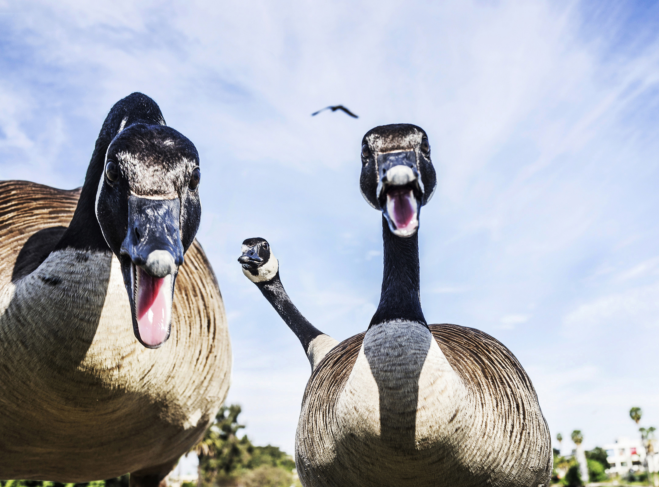 do not mess with the MacArthur Park geese, they will fuck you up
