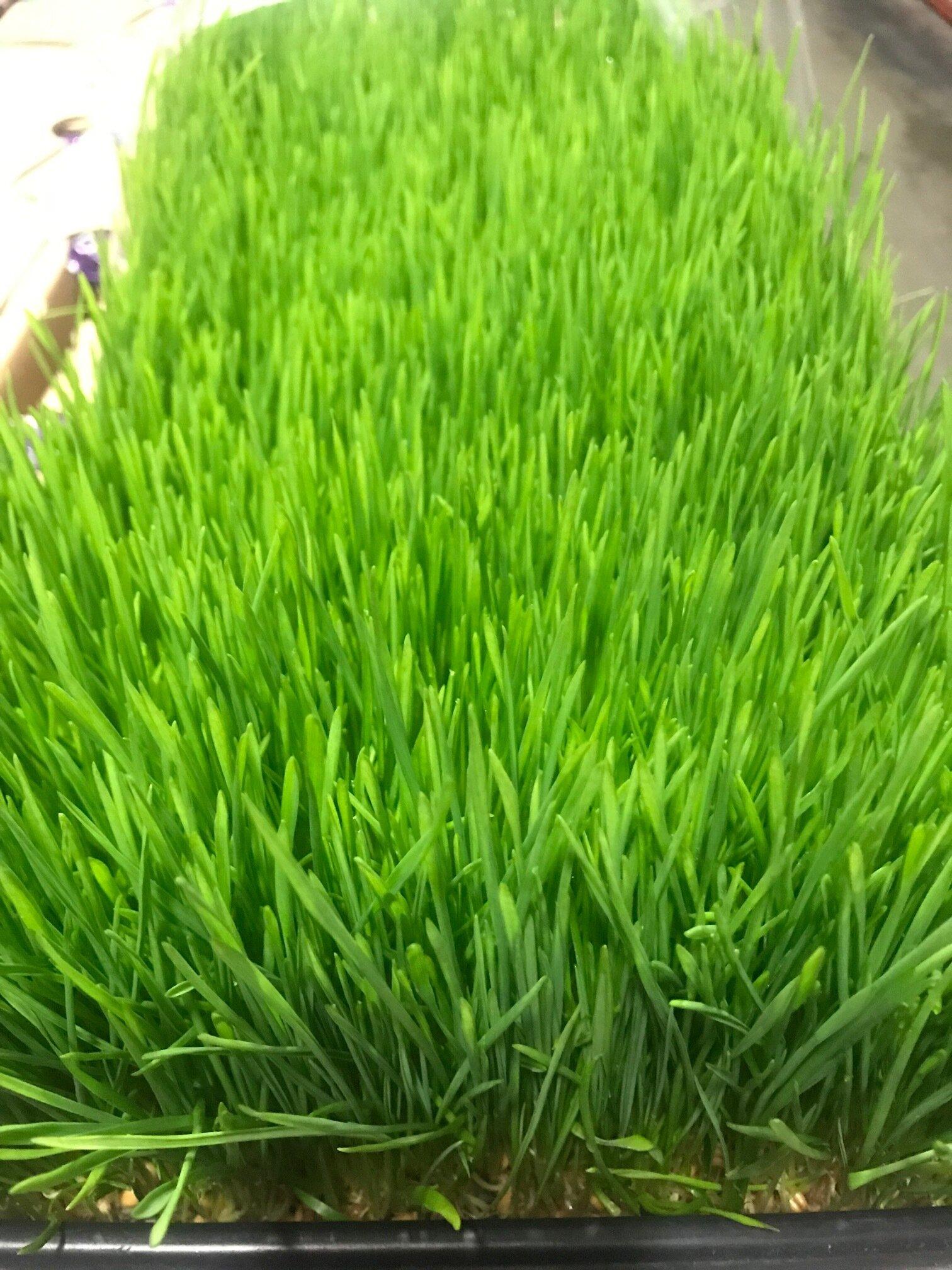 wheat grass.jpg