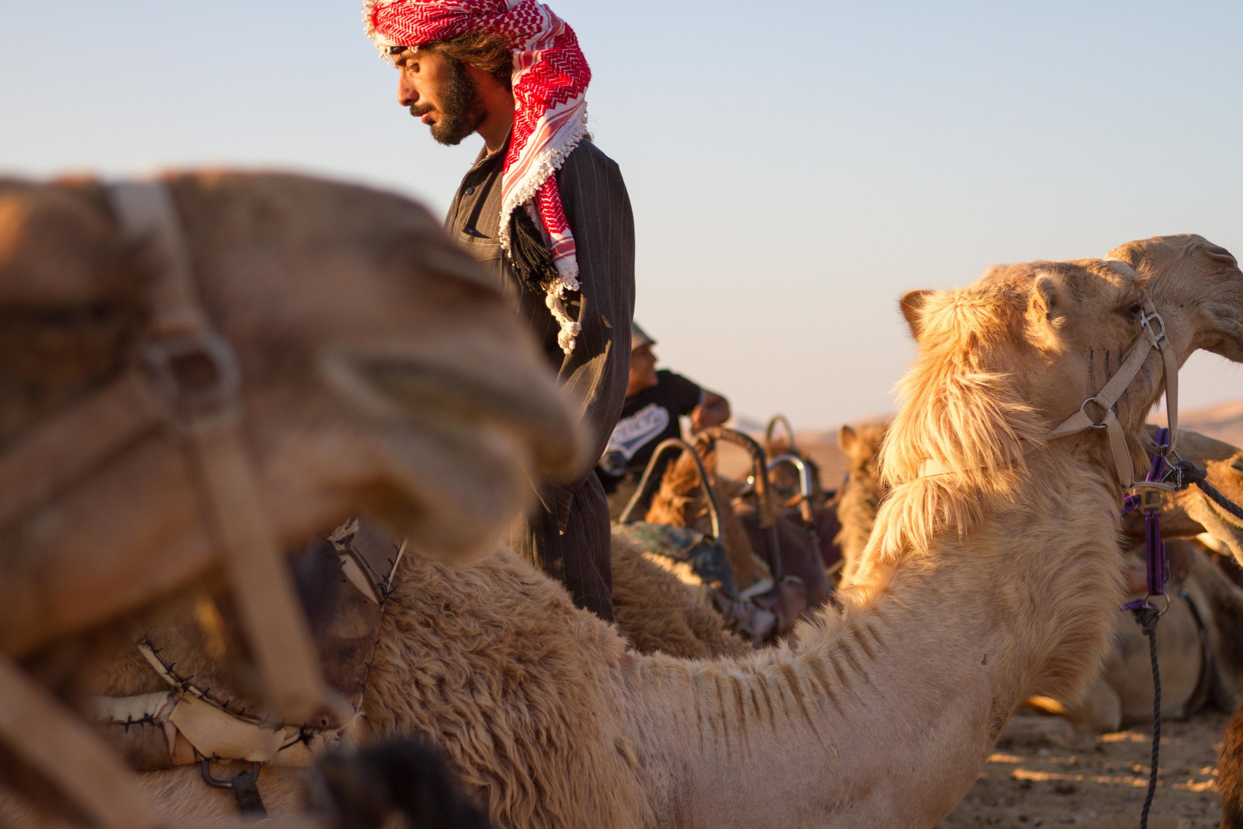 A member of a Bedouin tribe tends to his camels in the Negev desert in Israel.