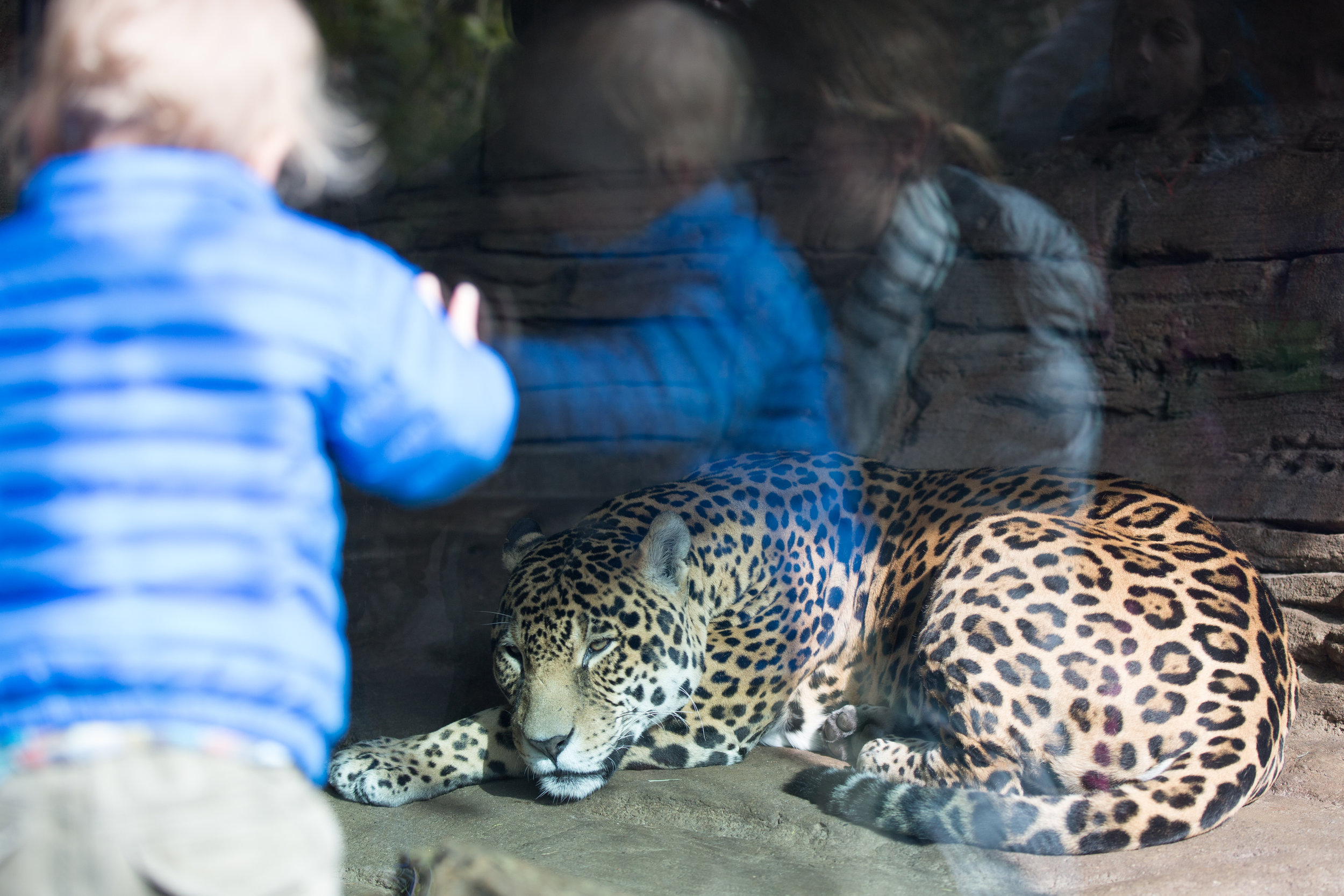 A jaguar relaxes in the Seattle Zoo while children look on.
