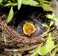 Baby-Bird-Help-Featured-Image-1-225-×-220.jpg