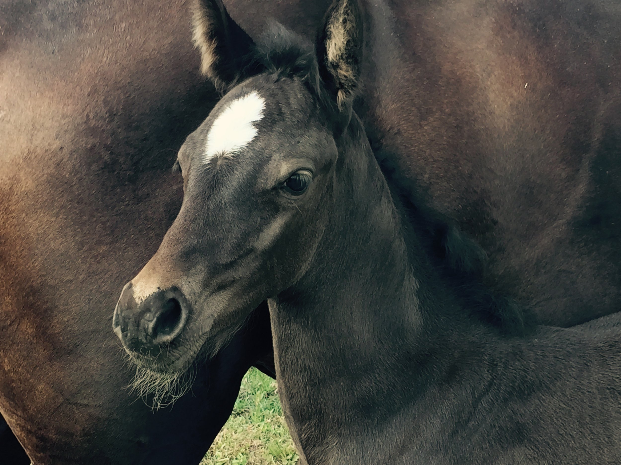 Black Arab/Standardbred filly