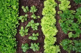 Companion Planting - Summer Squash