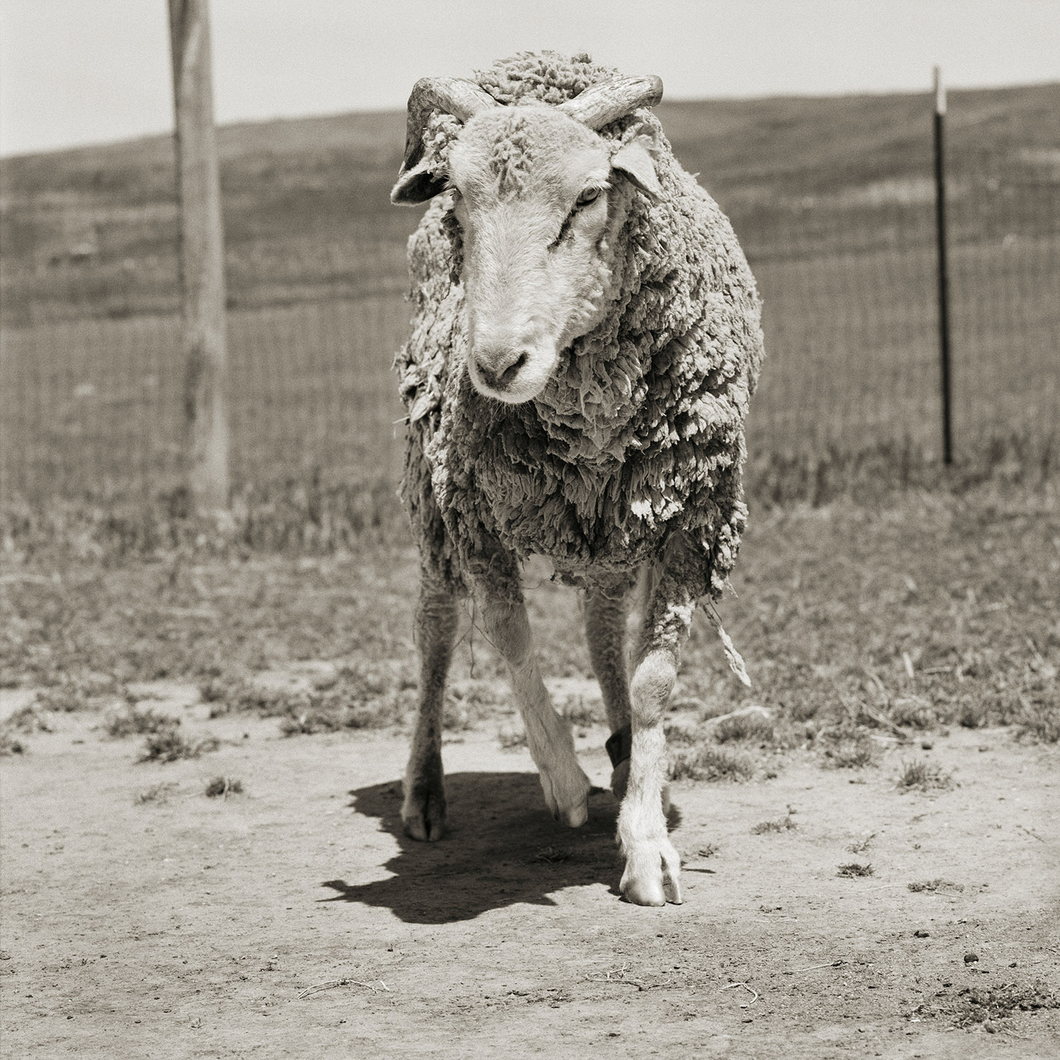 Forest, Santa Cruz Sheep, Age 16