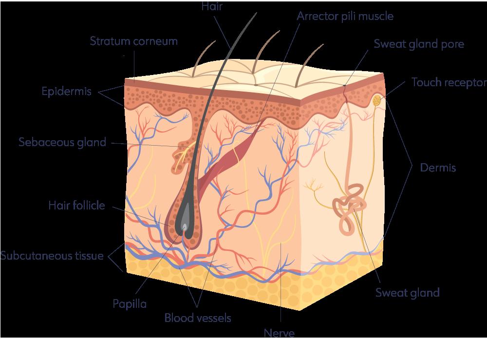 Mikura-Skin-Diagram.png