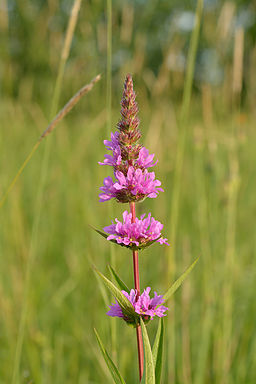 The flowers of Purple Loosestrife. (PHoto by Ivar Leidus via Wikimedia Commons.)