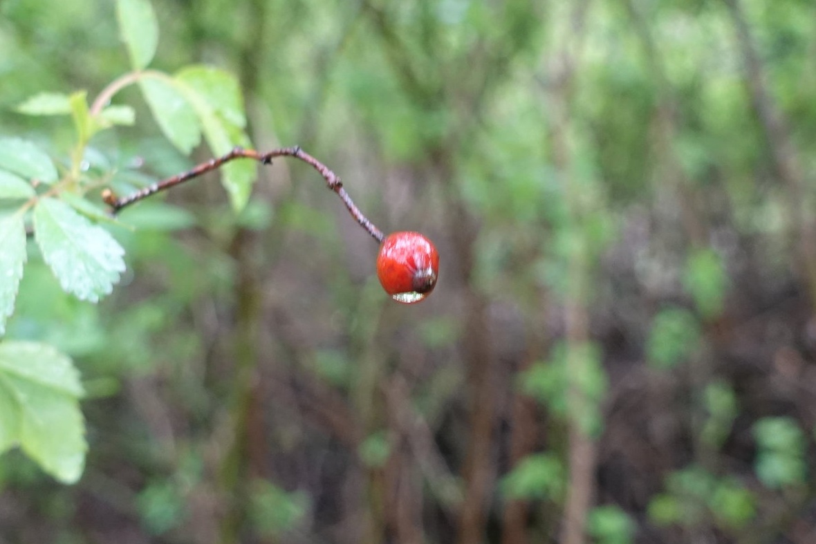 The fruit of the multiflora Rose. (Photo by Nathan Arata.)