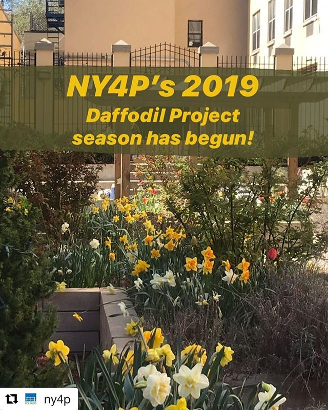 Happy Friday DBNA Fam!! NY4P Announces Daffodil Distribution See below for details! #Repost @ny4p with @get_repost ・・・ Did you hear? You can sign up to pick up FREE daffodil bulbs from NY4P this fall!  Daffodils are lovely because they 1) get planted in the fall, 2) are some of the first flowers to bloom in the spring, and 3) can come back year after year with simple care!  Go to our website today (#linkinbio !) to learn more about our #DaffodilProject and to see how, when, and where you can get some bulbs of your own!  Questions? 🤔🤩 DM us, call us at 212.838.9410 during business hours, or email our Community Outreach Coordinator and Director of The Daffodil Project, Gabriella Cappo, at gcappo@ny4p.org 🌞🌱🌼🌿🏬🌇🏡🗽 . Pictured: The Carmen Pabón del Amanecer Jardín on Avenue C in Manhattan - a beautiful #communitygarden open to all! Worth a visit 😊 . #nyc #nycopenspace #nycparks #thedaffodilproject #ny4p #freeflowers #freestuff #springblooms #perennials #like #share #brooklyn #community