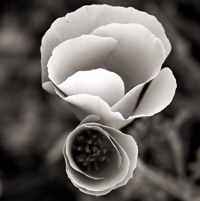 California Poppy in b&w. . . #b&wphotography #flowers