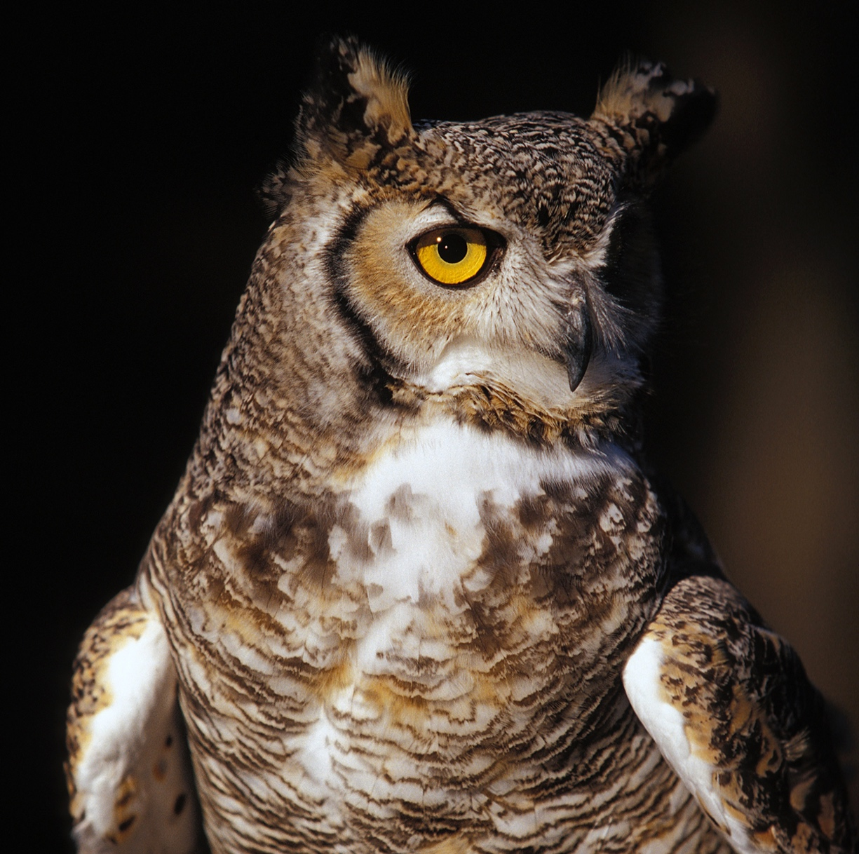 QWR%27s+Great+Horned+Owl+photo+by+Kevin+Ferris.jpg