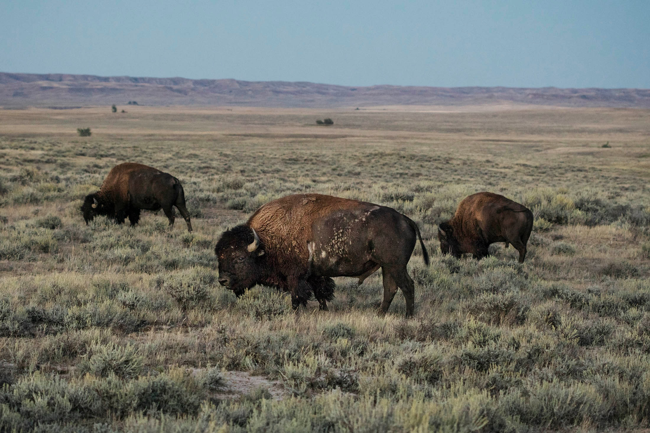 "Montana: Where the Buffalo Roam - The non-profit American Prairie Reserve aims to ""rewild"" a million acres of ranchland.Travel + Leisure, 2018."