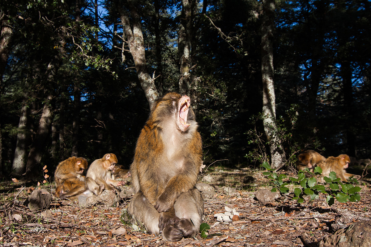 05_Barbary_macaque_group_mouth_open.jpg