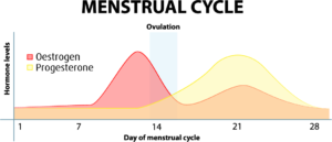 Menstrualcyclegraph..fw_-300x129.png