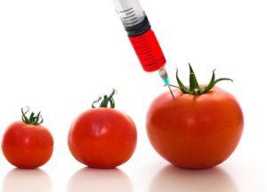 gmo-tomato-300x215.jpg