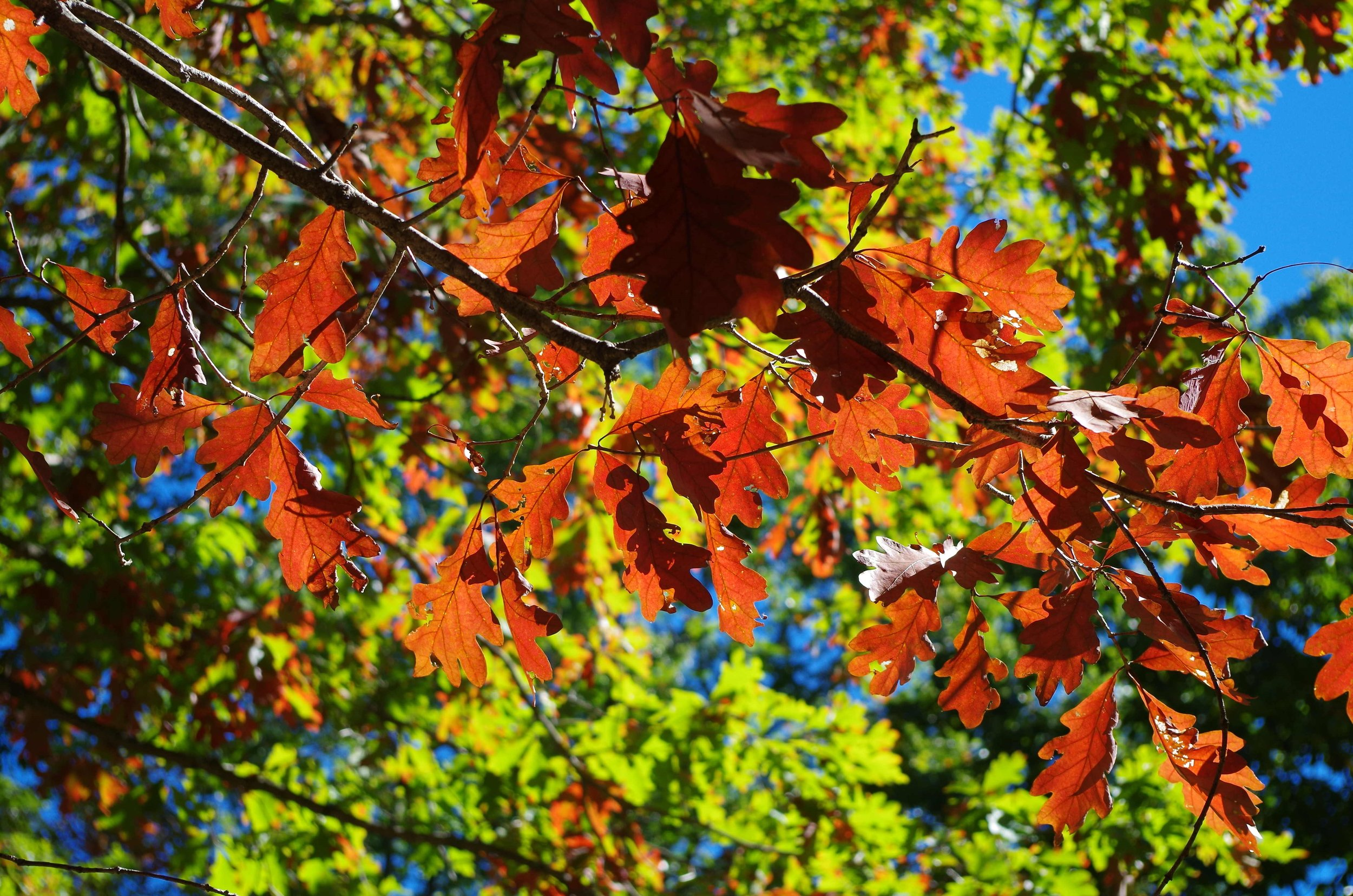 Maple tree leaves.jpg