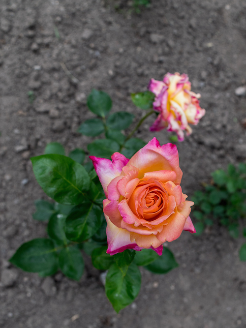 Montreal Botanical Gardens Multi-colored rose