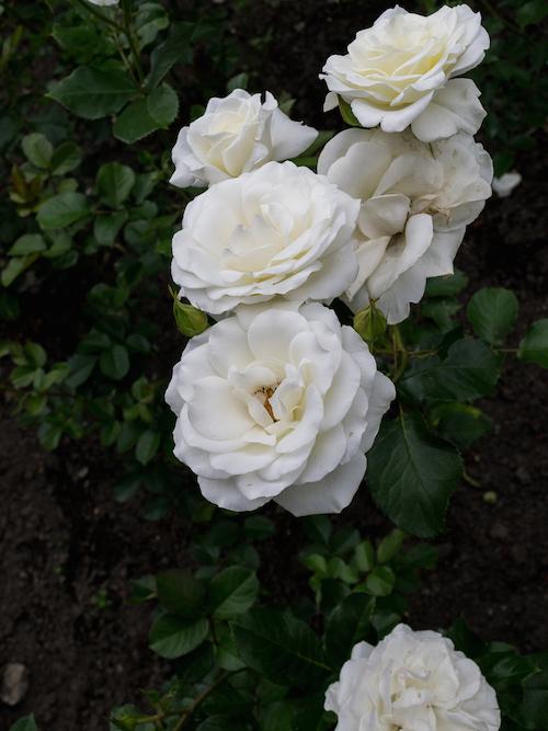 Montreal Botanical Gardens White Rose