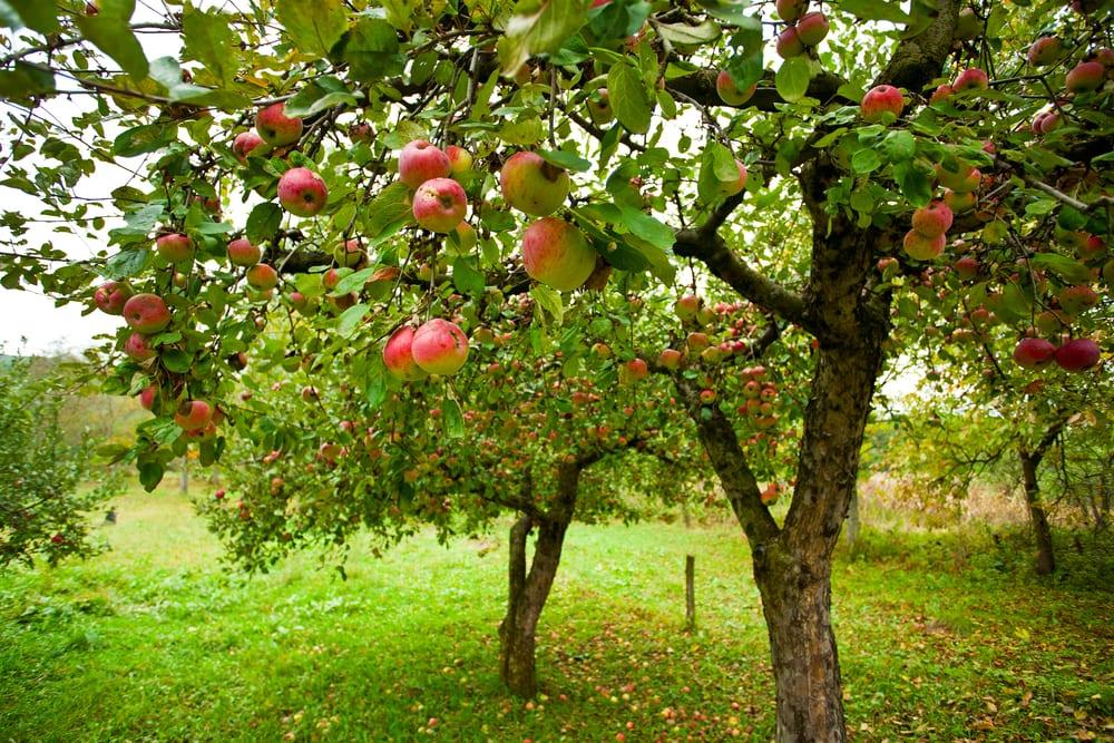 Perinteikästä omenatarhausta - Tuomiston puutarhassa on viljelty 1800-luvun alusta lähtien omenapuita ja marjapensaita. Puutarhaa laajennettiin 1850-luvulla, kun Tuomiston tila siirtyi kruununvouti Johan Lagerbladin omistukseen. Vuodesta 1860 alkaen puutarhaa hoitamaan palkattiin trekkoosmestari Matts Hellman. Puutarhaa uudistettiin ja laajennettiin merkittävästi vielä 1920-1950 nykyisen omistajasuvun Tuomiston työllä.Laajimmillaan puutarha oli 1950-luvulla, jolloin omenapuita oli noin 2000. Puutarha ulottui silloin myös Riippiläntien pohjoispuolisille pelloille. Omenaa myytiin muun muassa Voima Osuuskunnalle ja Fazerille. Vuosina 1980-1985 omenapuutarhaa hoidettiin jälleen ammattimaisesti ja omenoita myytiin muun muassa lähialueen ravintoloihin ja luomutukkuun Helsinkiin. Myös omenoiden itsepoiminta oli suosittua.