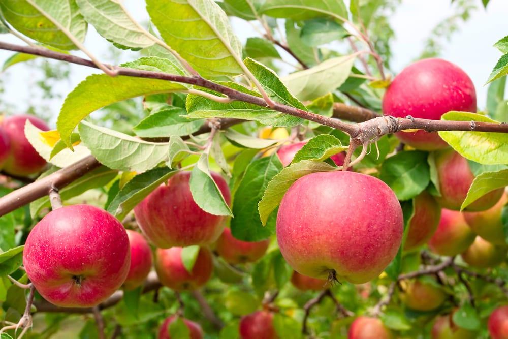 Puutarhan hoidon periaatteet - Hoidamme omenapuutarhaa biodynaamisen viljelyn periaatteita noudattaen luonnonmukaisin keinoin. Tällä hetkellä puutarhan hoidon päätavoite on ylläpitää vanhojen omenapuiden elinvoimaa varovaisilla nuorennusleikkauksilla. Samalla raivataan villiintynyttä risukkoa (pajua, raitaa, pihlajaa, koivua, leppää, vaahteraa, terttuseljaa, tuomea), jotta omenapuita rasittava juuristokilpailu ja varjostus helpottaisi. Osa puista saa kasvaa korkeina perinteiseen tapaan. Puiden leikkauksessa kertyvät oksat ja rungot kasataan polttokasoihin, jotka poltetaan sopivan hetken tullen paikallaan. Kertynyt tuhka levitetään omenapuiden juurille tuhkalannoitteeksi.
