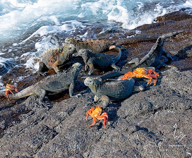 Marine Iguanas only found in Galapagos. Getting a sun tan . #ecuador #galapagos #iguana #marineiguana #crab #wildlife #animallover #travelphotography #travel #island #photooftheday #wanderlust #thewander