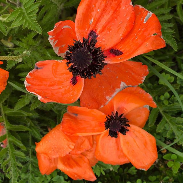I ❤️ poppies . @thewander_net . #poppy #flowers #nature #naturephotography #poppies