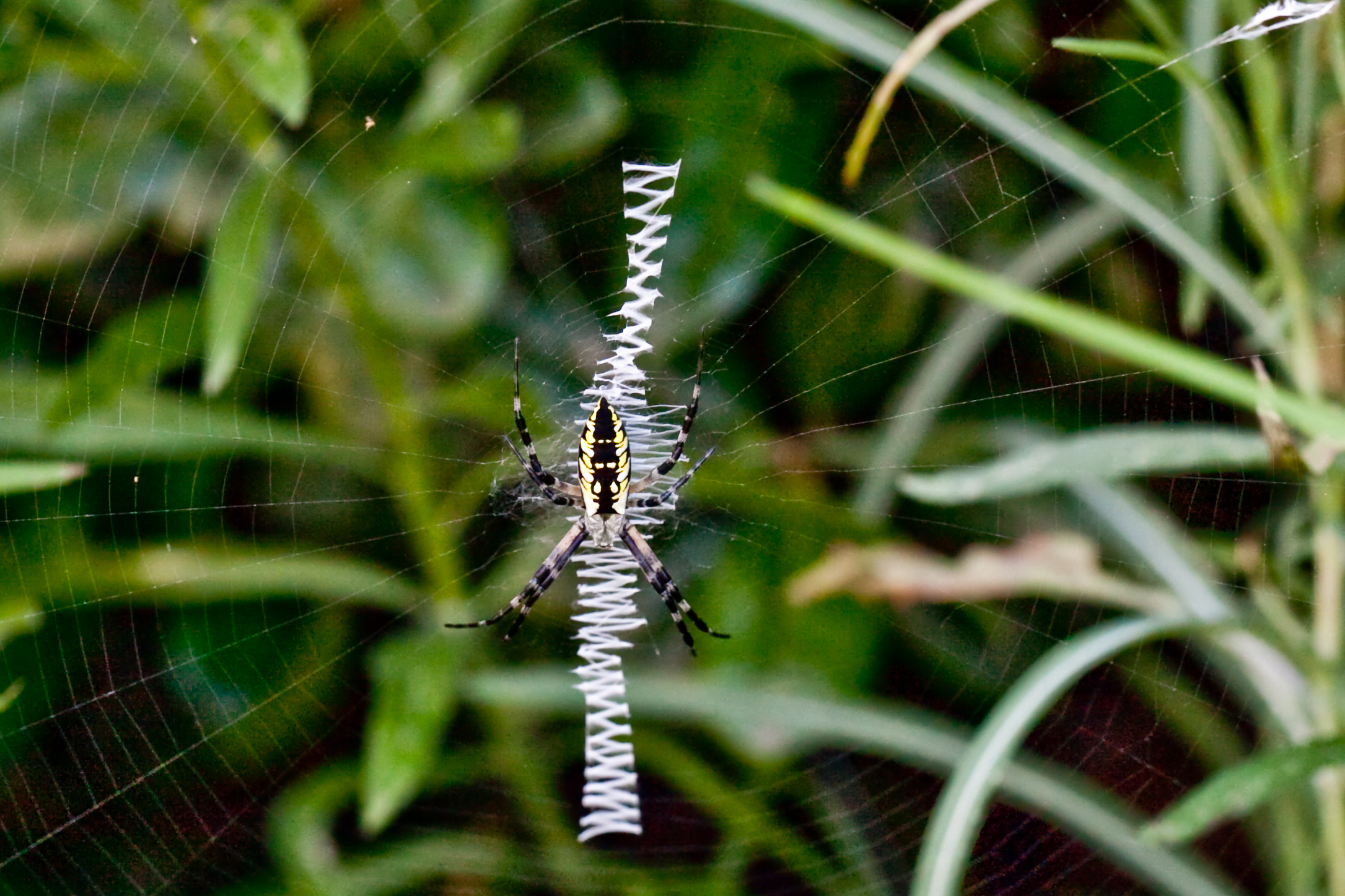 """Zigzag spider"" by Deisy Mendoza on  Wikipedia"