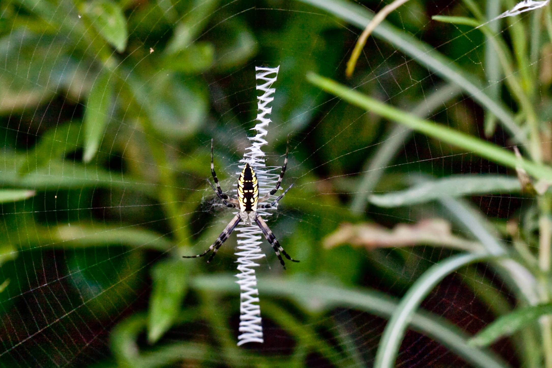 """""""Zigzag spider"""" by Deisy Mendoza on  Wikipedia"""