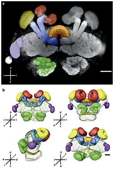 ant brain structure.jpg