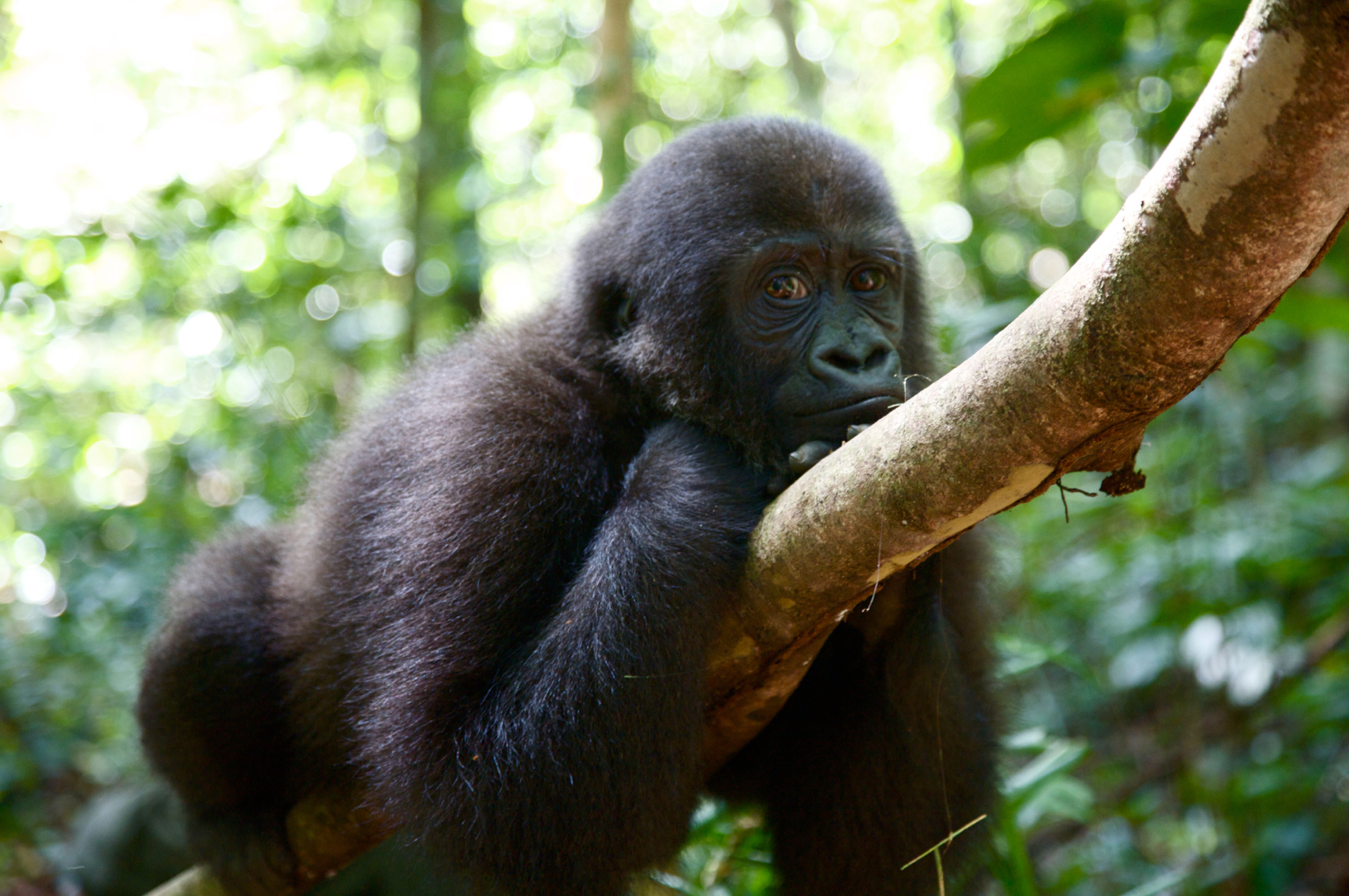Gorilla- 1.jpg