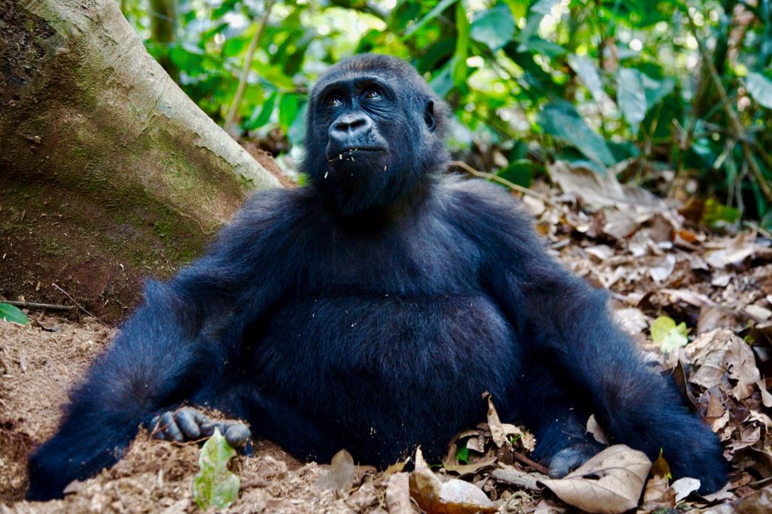 Gorilla- 4.jpg