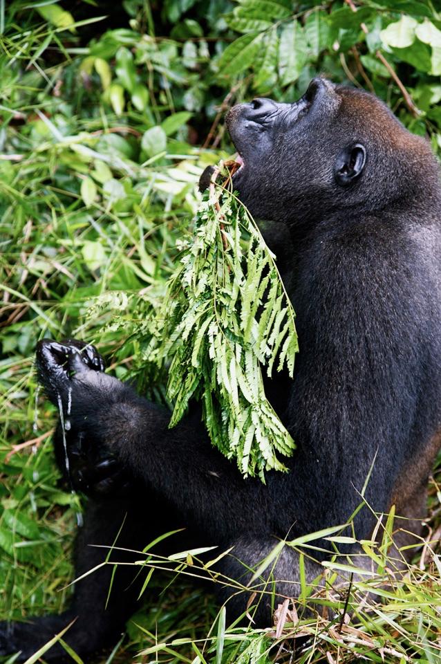 Gorilla - 3.jpg