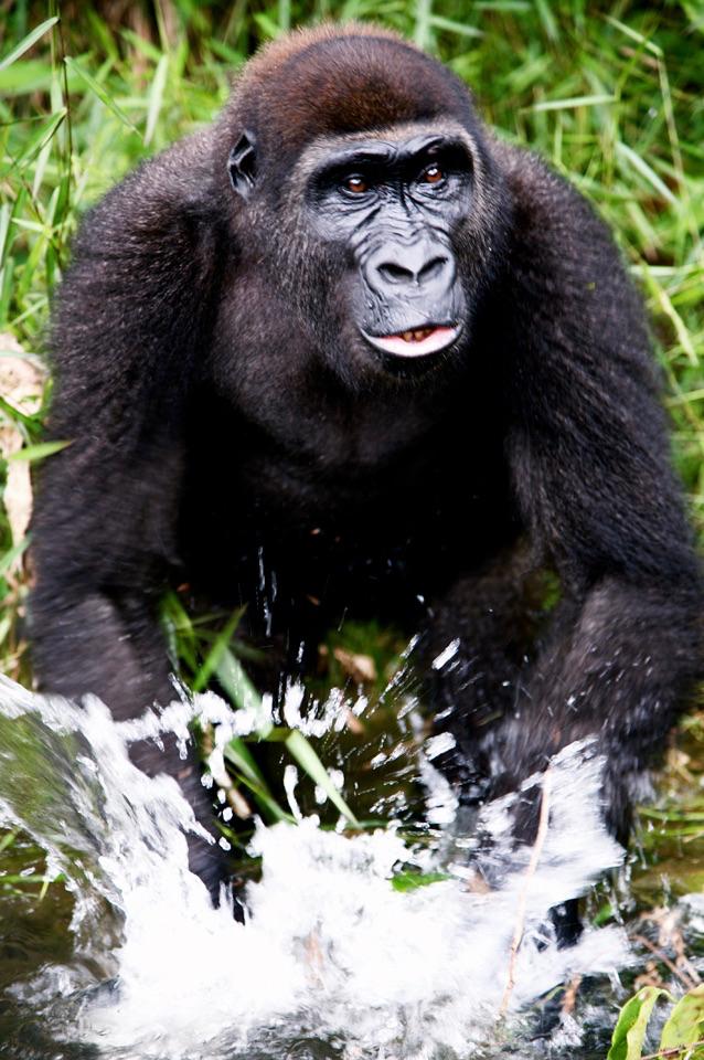 Gorilla - 2.jpg