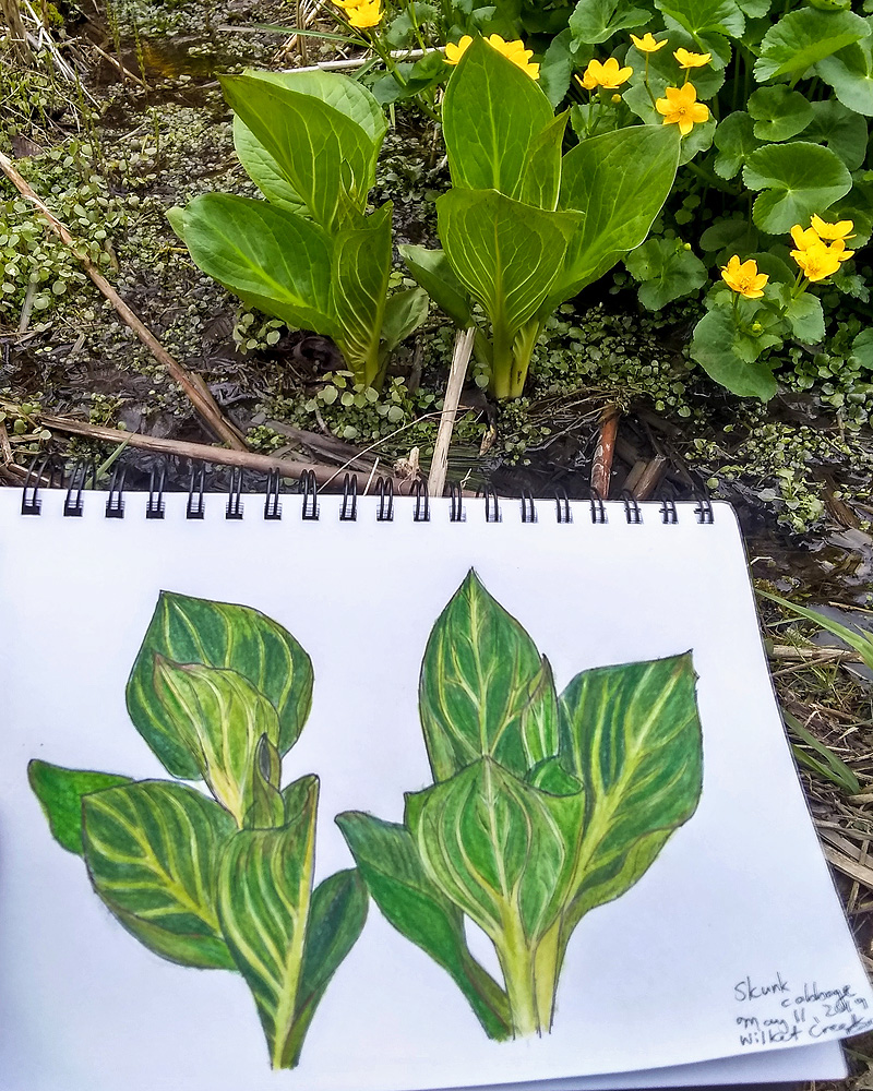 Skunk Cabbage field sketch by Malgosia.