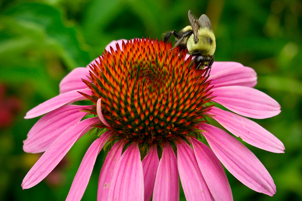 Bumblebee and purple cone flower.
