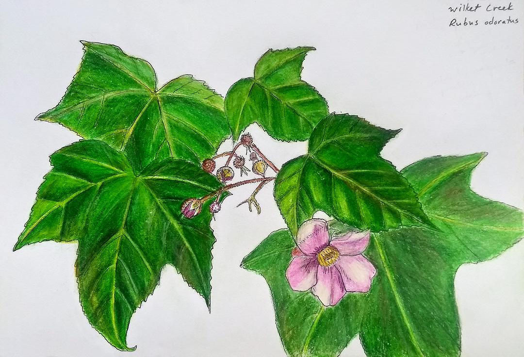 Purple-flowered raspberry sketch.