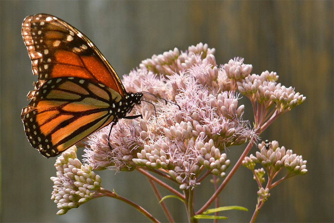 Monarch and Joe-pye weed in the LEAF Learning Garden.