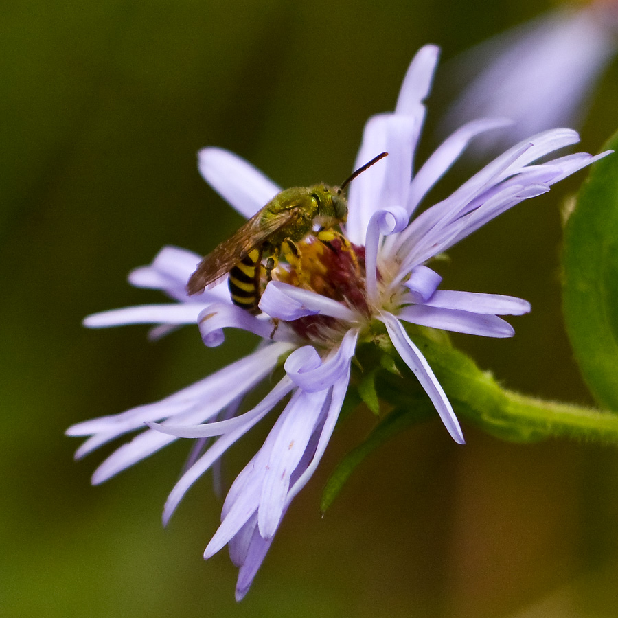 Bicoloured Agapostemon ( Agapostemon   virescens)