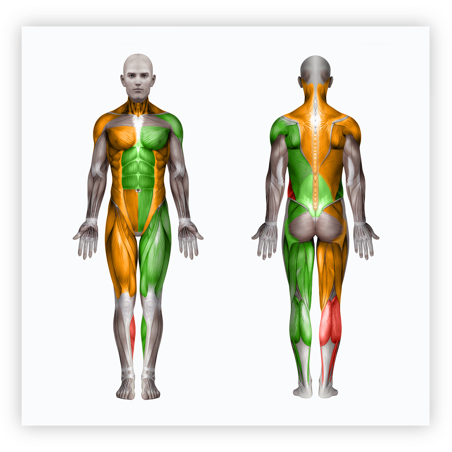 The Body Avatar - The Body Avatar is a color-coded representation of the ROM measurement data collected in the evaluation. It displays the length-tension relationships for both the front and back of the body. The Body Avatar is an invaluable resource for increasing participant engagement and motivation, as well as providing the professional with a quick summary of the evaluation.
