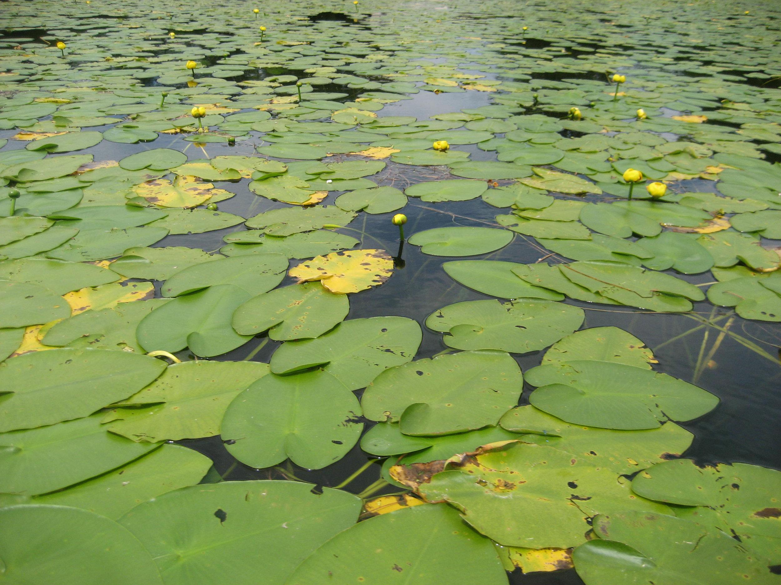 Lake-Beulah-Lily-Pads-1312.jpg