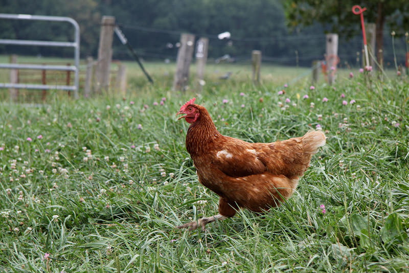 organic-chicken-farm2_800.jpg