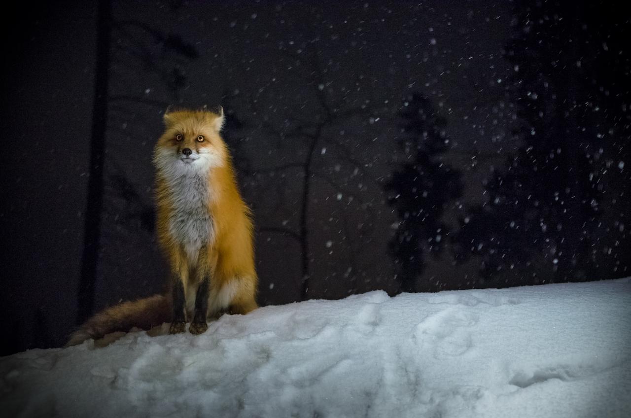 Fox PrintWHCC.jpg