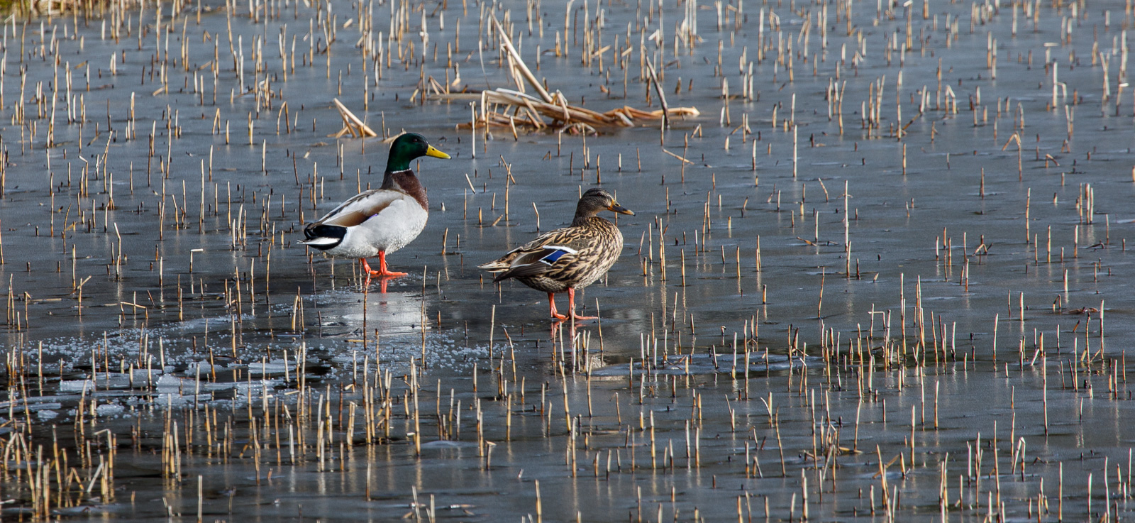 Ducks on Ice 25.jpg