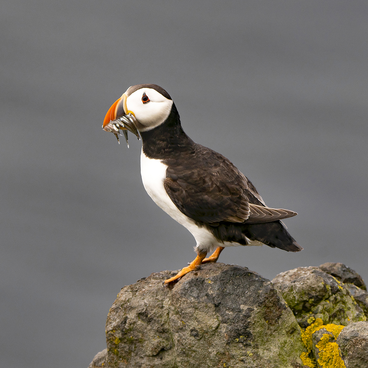 Isle of May Puffin.jpg