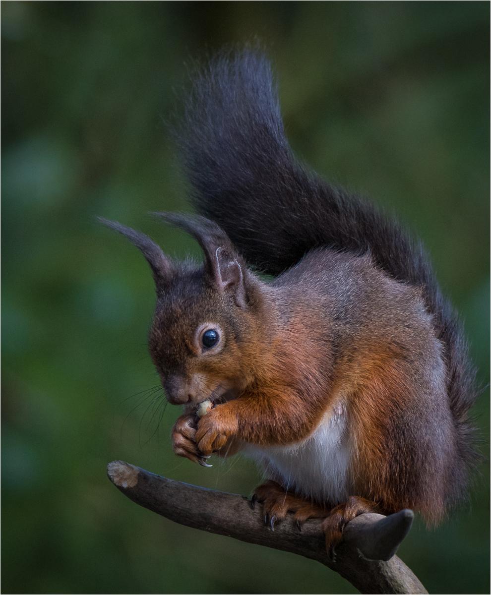 Red Squirrel     BPCC   NATURE_52.JPG.jpg